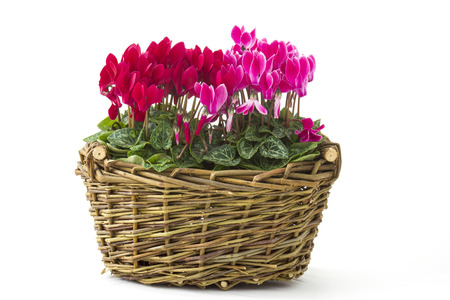 cyclamen persicum in a basket on white background Stock Photo