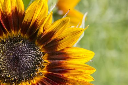 helianthus: sunflower in the garden (Helianthus) Stock Photo