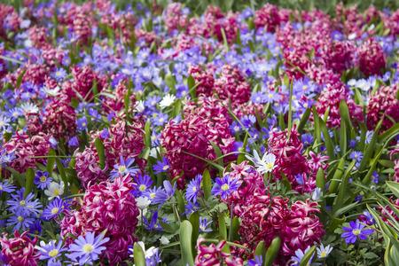 flowers in Keukenhof, Netherlands