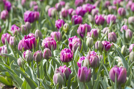 keukenhof: tulips in Keukenhof, Netherlands