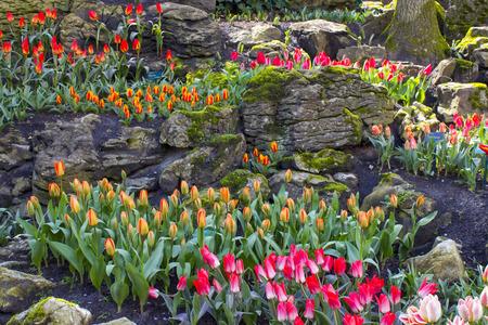bulb fields: tulips in Keukenhof, Netherlands