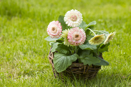 Gerbera flowers in a basket