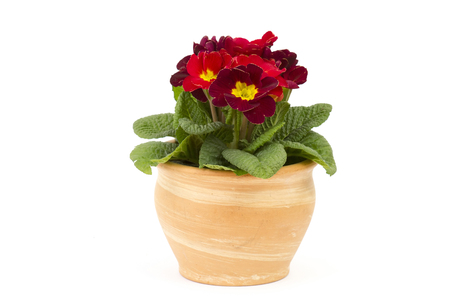 Blossoming red primrose in a flower pot on white background