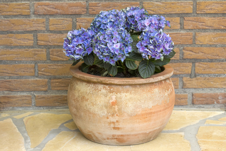 Hortensia flowers in a clay pot