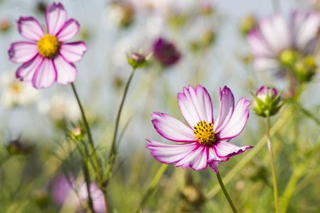 Cosmos flower (Cosmos Bipinnatus) Stock Photo