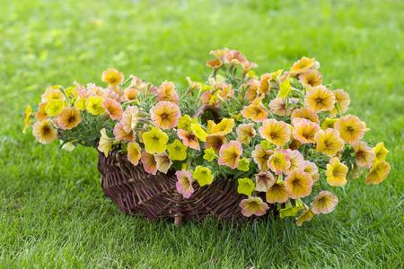basket with petunias (Petunia hybrida) flowers in the garden