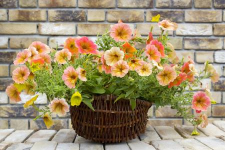 basket with petunias (Petunia hybrida) flowers on brick wall Stock Photo