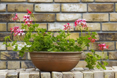 pink geranium in a pot on brick wall