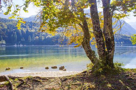 Old tree by the Bohinj lake, Slovenia