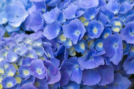 blue hortensia flowers - background