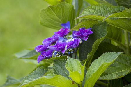violet hortensia flowers