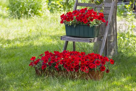 red petunia flowers in the garden