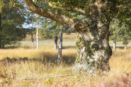 Old birch in National Park Hoge Veluwe in the Netherlands.