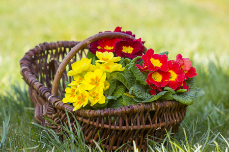 Blossoming primrose in a basket