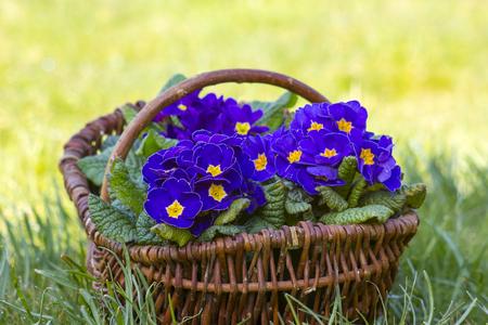 Blossoming purple primrose in a basket