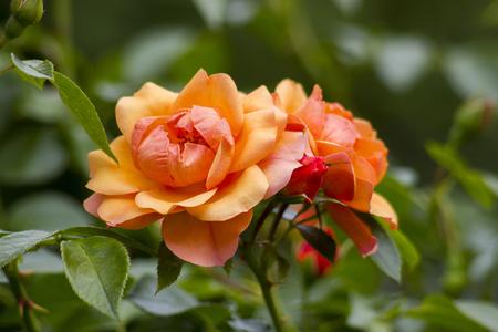 orange roses in the garden Stock Photo