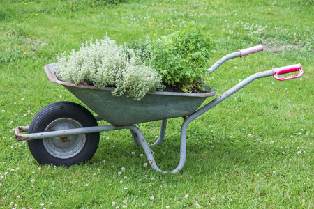 wheelbarrow with herbs