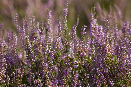 Blooming heather in National Park Maasduinen in the Netherlands