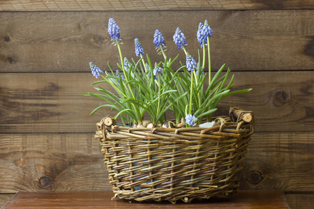 flowering common grape hyacinths in a woven wicker basket on wooden background Stock Photo