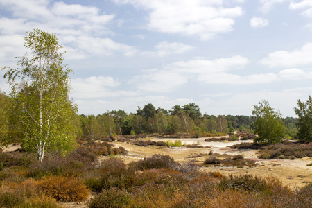 Heathland in National Park Maasduinen in the Netherlands