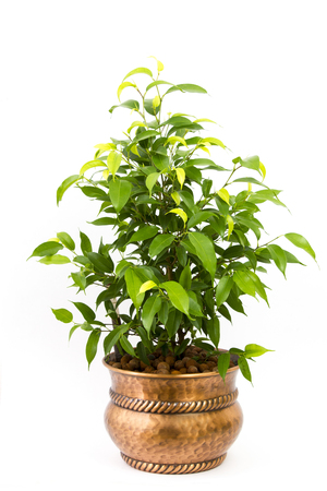 ficus benjamina in a metal rustic pot on white background
