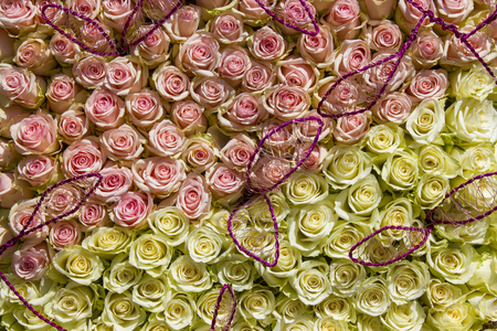 roses background - pink and white roses Stock Photo