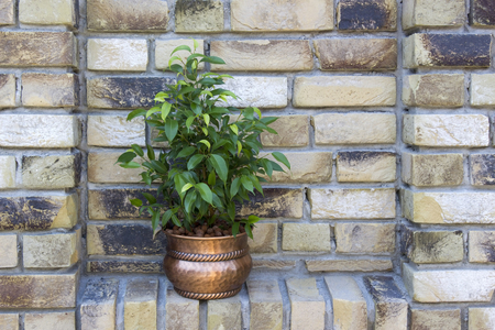 ficus benjamina in a metal rustic pot on brick background Stock Photo