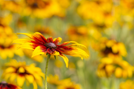 Rudbeckia flower in nature