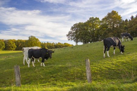 Cows Grazing on Pasture in Lower Rhine Region, Germany Stock Photo