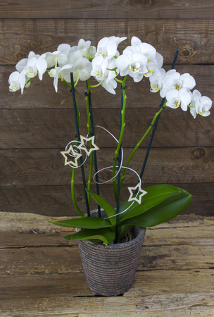 Beautiful white orchid in a flowerpot - phalaenopsis, wooden background