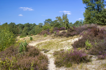 Heide im Nationalpark Maasduinen in den Niederlanden