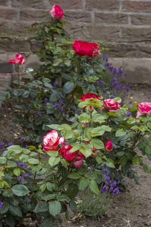 flowerbed in the garden - roses and lavender flowers