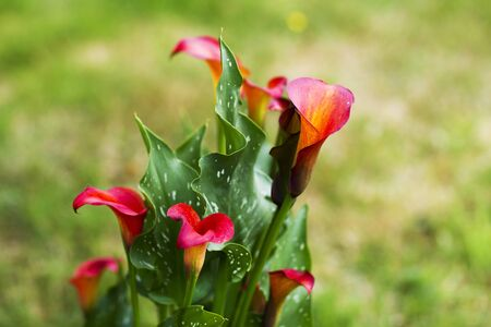 Big red-orange flowers of Zantedeschia Quatar, arum lily, calla lily, calla. Herbaceous, perennial, flowering plants in the family Araceae