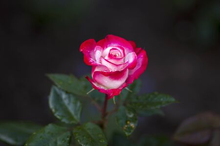 rose in the garden - close up