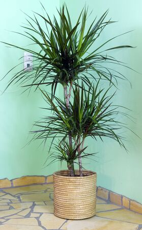dracaena marginata in living room at window with sunlight. Home design, interior and decoration