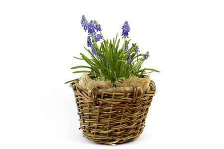 flowering common grape hyacinths in a woven wicker basket on a white background