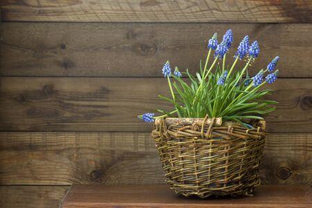 flowering common grape hyacinths in a woven wicker basket on wooden background Stock fotó