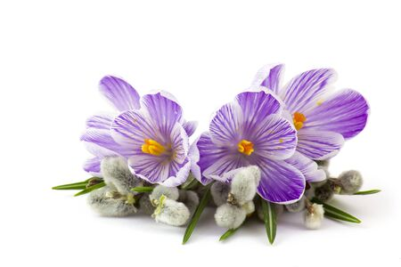 crocus flowers and pussy willow twigs on white background