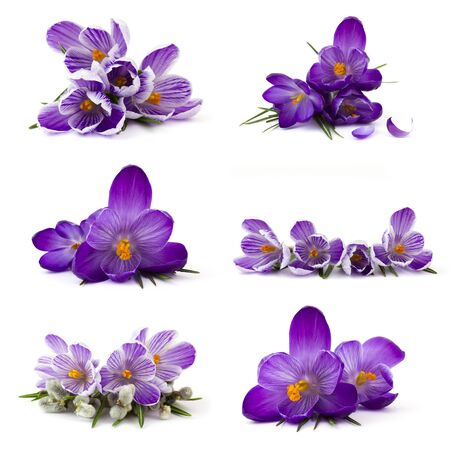 crocus flower on white background - fresh spring flowers - collage