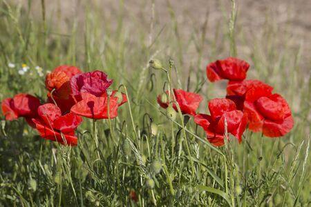 wild poppy flowers - close up Reklamní fotografie