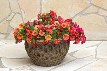 pot with petunia flowers - close up 版權商用圖片