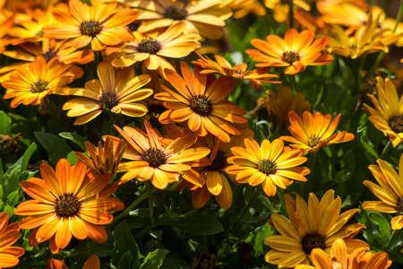 osteospermum - orange african daisy in a garden