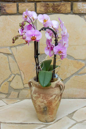 Beautiful pink orchid in a flowerpot - phalaenopsis