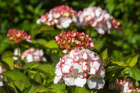 Hortensia flowers in the garden
