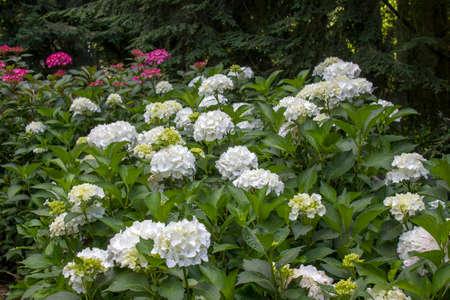 Bush of Hortensia flowers in the garden 版權商用圖片