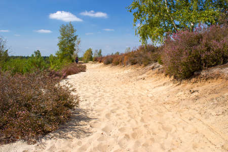 Heathland in National Park Maasduinen in the Netherlands