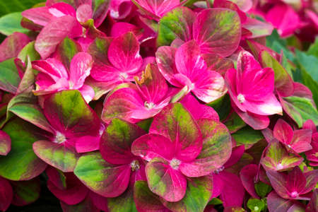 red hortensia flowers - close up 版權商用圖片