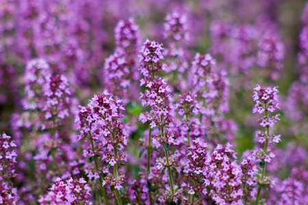 Violet blooming thyme in the garden