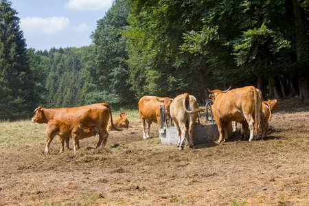 Brown cow walking on the green meadow in the Eifel landscape, Germany