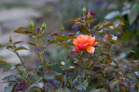 roses in a garden 版權商用圖片